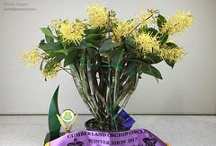 Dendrobium Hilda Poxon 'Yun-Len' (Harlz_) Tags: dendrobium hilda poxon yunlen australian native orchid hybrid show society sydney