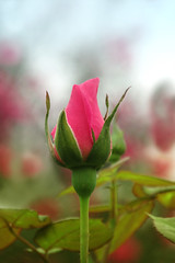 In the garden (fucsia_7) Tags: rose bud rosa flor flower pink one nature petals light spring beautiful color plant image outdoors colorful