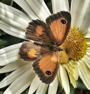 Gatekeeper/Hedge Brown (Pyronia tithonus)