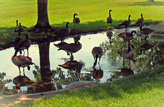 a puddle and shade got it made-explored 7.25.17 (Jayne Reed) Tags: geese canadageese water wildlife