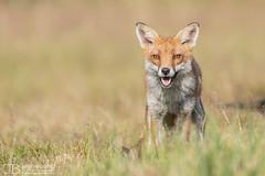 Fox1-10.07.17-4623 (Jayne Bond) Tags: fox