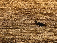 Golden River (Guan_ting) Tags: 河 鳥 鷺鷥 金色 陽光 river golden bird