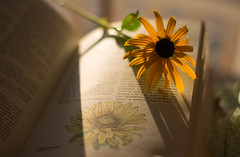 Summer Reading (Captured Heart) Tags: rudbeckia blackeyedsusan flower yellowflower bookpages botanical