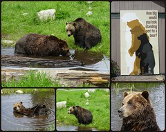 Coola  and Grinder. (France-♥) Tags: coola grinder ours bears grizzly collage grousemountain northvancouver canada animal