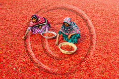 Working with red chillies (www.sohelparvezhaque.com) Tags: bangladesh capsaicin capsicum chilli chillies climate flavoring lots pepper salsa seasoning spice asia asian background bogra chili color crops day empowerment farmer field food fruit heat hot industry labour land organic people plant process red redchillies river sariakandi spicy taste vegetable women work