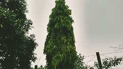 The Tree 🌲 #Green #Love #Dew #NatureLover #Nature #BadMood #MotoCam #MotoG3 #HDR #Filters #Faded #Tall #Flicker #Comments #Faves #Like #Locker #Sky #Clouds (rockani451) Tags: nature flicker filters hdr love dew green faves tall motog3 naturelover clouds comments like locker motocam faded badmood sky