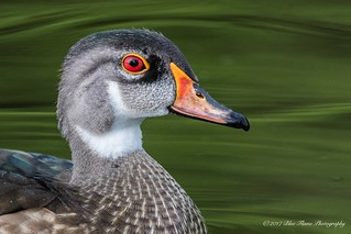 Wood Duck (Drake in Eclipse Plumage) ©