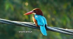 Birdy luv (sagarbarua) Tags: birds birdylove birdy kingfisher nature animal wildlifephotography wildlife nationalgeography natgeo