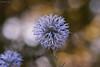 Blue sphere (oskaybatur) Tags: 2017 manualfocus mf pentaxk10d pentaxart justpentax nature bokeh dof turkey türkiye turkei samyang100mm closeup blue summer july temmuz oskaybatur