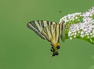 DSC4995 Scarce Swallowtail..