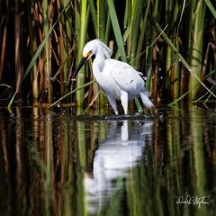 "Egret With Its Catch (dcstep) Tags: egret snowyegret englewood colorado unitedstates us n7a9880dxo mud cattails canon5dmkiv ef500mmf4lisii ef20xtciii allrightsreserved copyright2017davidcstephens dxoopticspro114 ""cherry creek state park"" cottonwoodcreek pond reflection mirror"