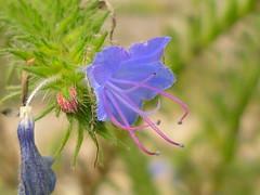 Natternkopf-Blüte (Jörg Paul Kaspari) Tags: godelheim maygadessen echium vulgare echiumvulgare natternkopf blüte flower blau blaue blue blume wildblume wildflower