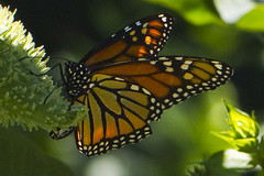 A Monarch, in this case the Queen! (brucetopher) Tags: monarch layingeggs egglaying egg laying orange delicate strong backlit macromondays queen yellow colorful colors milkweed lifecycle circleoflife life nature