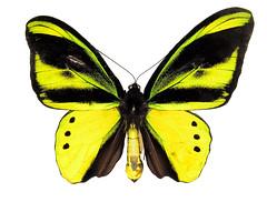 Ornithoptera chimaera flavidior (male); ANIC (sarracenia.flava) Tags: birdwing butterfly ornithoptera chimaera flavidior papua new guinea anic papilionidae swallowtail