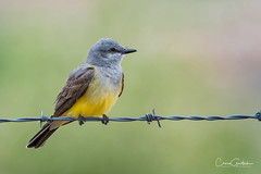 Western Kingbird (craig goettsch) Tags: westernkingbird hendersonbirdviewingpreserve2017 bird avian wildlife nature barbedwire green yellow animals nikon d500 sunrays5 ngc
