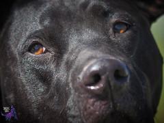 P7150533 (Songdog Studios) Tags: green dog neumond womensretreat 2017 k9 schutzhund ipo