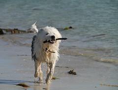 Saltainis, Barra (Niall Corbet) Tags: scotland outerhebrides hebrides barra island coast dog sheepdog beach
