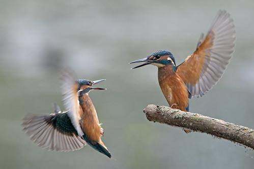 Squabbling Kingfishers.