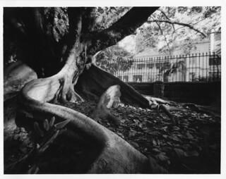 Pinhole Fig Tree