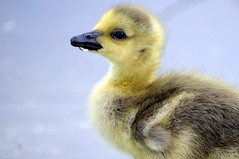 A drop of water goes a long way (Captions by Nica... (Fieger Photography)) Tags: goslings gosling geese bird wildlife nature outdoor animal quebec canada