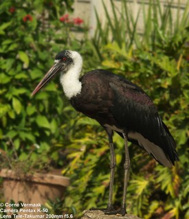 2017-07-30 Woollynecked Stork (Ciconia episcopus) 5784_3