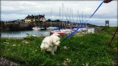 Alfie's 1st day out .. #alfie #zuchon #puppy #dog #shitzu/bichon #porlockweir #porlock #westsomerset #england #uk #jennyparry (jennyparry737) Tags: zuchon alfie porlockweir westsomerset shitzu porlock jennyparry uk puppy england dog