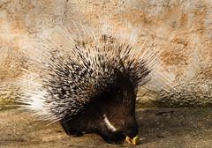 Hedgehog (Bom-he) Tags: zoo frankreich amnéville france hedgehog stachelschwein tier animal schwein säugetier eating