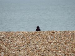 Crow On The Beach. (ManOfYorkshire) Tags: crow bird animal beach pebble pebbles sea seaside seafront haylingisland hampshire uk england