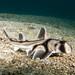 Baby Port Jackson shark - Heterodontus portusjacksoni #marineexplorer