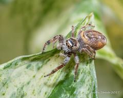 Yellow Jumping Spider 2 (strjustin) Tags: jumpingspider spider arachnid insect bug macro