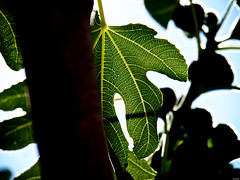 Estar en la higuera (Luicabe) Tags: airelibre cabello enamorado exterior ficus ficuscarica higo higuera hoja lluvia luicabe naturaleza planta yarat1 zamora ngc