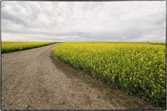 _7150206 Canola fields in bloom. (geelog) Tags: oilseed crop fields canola carseland ab canada