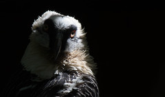 Glowing Eye (Nephentes Phinena ☮) Tags: nikond500 sigma50500mmf463 vogelparkwalsrode beardedvulture bartgeier birds
