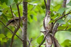 20170610-IMGP8803.jpg (Yunhyok Choi) Tags: feather beak tree nature brownearedbulbul wing nest summer bird wildlife fledgling animal hwaseongsi gyeonggido southkorea