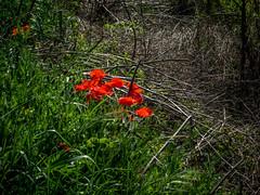 Amapolas del Montsec (efe Marimon) Tags: felixmarimon montsec primavera amapolas canonpowershots120