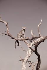 Lookout [Explored, thanks] (matttrevillionphotography.com) Tags: botswana leopard africa