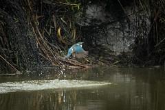 Attempt at Kingfisher fishing (bluepoppynz) Tags: brooklandslagoon kingfisher nps naturephotographysociety