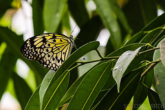 20170715-IMG_7391 (SGEOS@EARTH) Tags: vlindertuin vlinder vlinders butterfly butterflies vlindersaandevliet observer colorfull insects nectar indoor nature wildlife canon macro 100mm