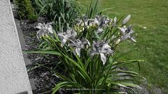 DSC00622 (Aldona Induła) Tags: hoyafilters sony a6000 bezedycji daylily flower garden hemmerocallis kwiat liliowiec ndx8filter notedited ogród prostozaparatu straightfromthecamera
