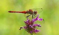 Ruddy Darter (Sympetrum sanguineum) (festoon1) Tags: ruddydarter sympetrumsanguineum dragonfly odonata
