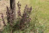 Lamium purpureum, Purpur-Taubnessel (julia_HalleFotoFan) Tags: lamiumpurpureum purpurtaubnessel lamium taubnessel lippenblütler
