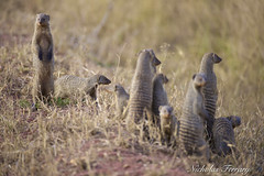 Banded Mongoose (Nicholas Ferrary) Tags: nicholasferrary nature nikon nikond800e nikon200400mmvr nikond810 d800e d810 200400mm vr2 nikon200400vr2 animals mammals mammallife mongoose bandedmongoose africa africanwildlife tanzania serengeti serengetinationalpark