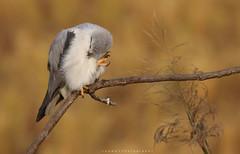 Preening (jadi_jal) Tags: nature naturephotographer naturelover naturephotography beautyofnature beautiful wildlife wildbird flicker jawadsphotography sialkot pakistan