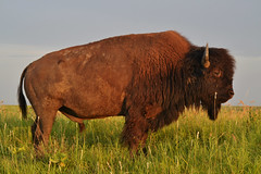 American Bison (Photographs By Wade) Tags: osagecounty oklahoma americanbison buffalo tallgrassprairiepreserve animal mammal fur horn