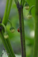 Macro-LadyBugs_188 (ZieBee Media) Tags: ladybug garden