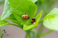 Macro-LadyBugs_64 (ZieBee Media) Tags: ladybug garden
