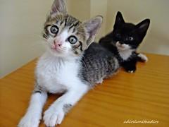 Sweet y Batman011 (adioslunitaadios) Tags: gatos gatoscomunes mascotas animales chiquitines macro fujifilm