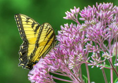 Eastern Tiger Swallowtail (tkclip47) Tags: eastern tiger swallowtail butterfly insect bush garden