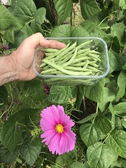 French Beans  IMG_0152 (StefanSzczelkun) Tags: beans homegrown frenchbeans flower crop green picking july cr7 fresh
