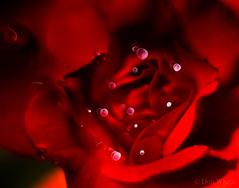 Red Rose Bokeh (Don White (Burnaby)) Tags: centralpark extensiontube flowersplants macro red rose bokeh 32mm
